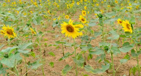 botanical farms: sunflower