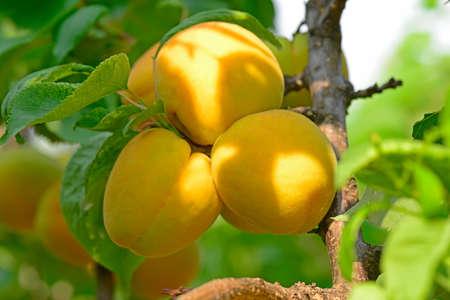 arboles frutales: albaricoque en los árboles frutales Foto de archivo