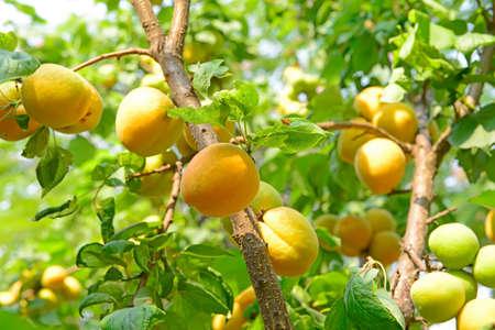 abrikoos op de fruitbomen