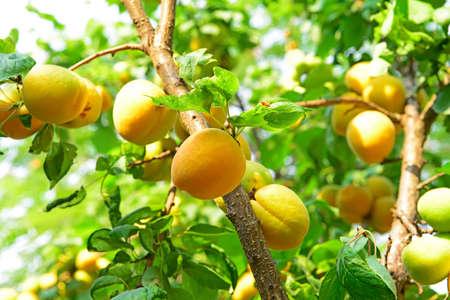 arboles frutales: Muchos de albaricoque maduro, en los árboles frutales