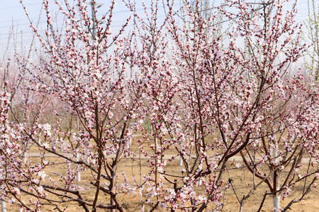 bloom: full bloom  peach blossom Stock Photo
