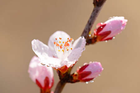 in bloom: full bloom  peach blossom Stock Photo
