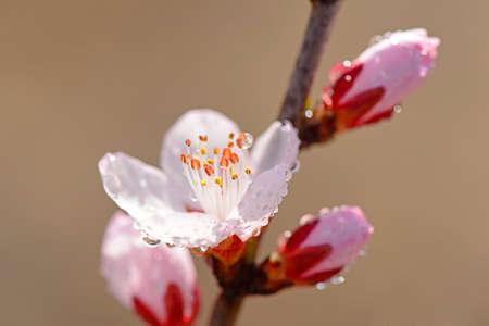 in bloom: full bloom peach blossom