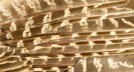 Pheasant feather close up Stockfoto
