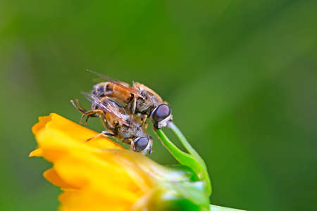 Two bees are mating