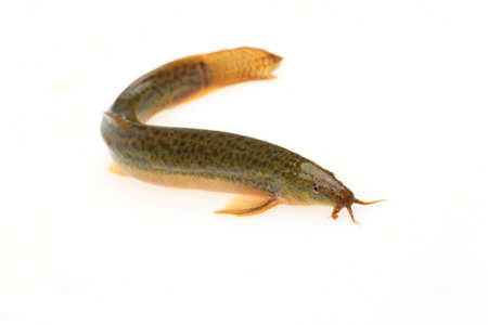 A loach is isolated on a white background