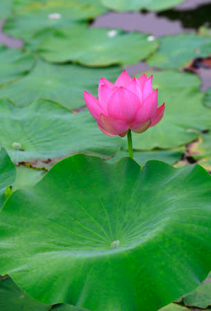 Blooming lotus  Archivio Fotografico