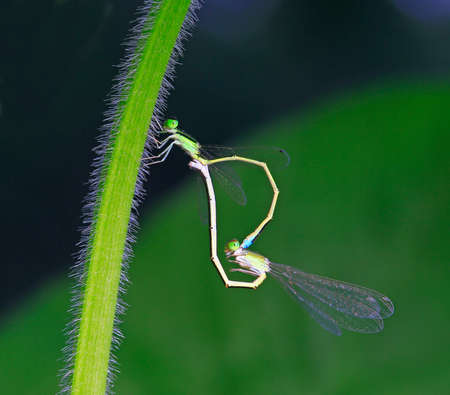 Two Damselfly