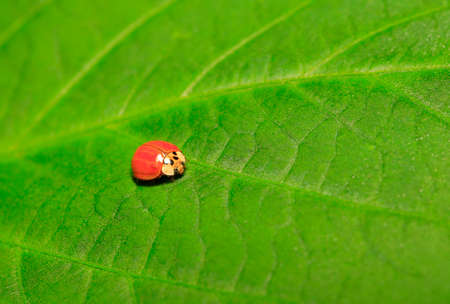 A ladybug is on the green leaf