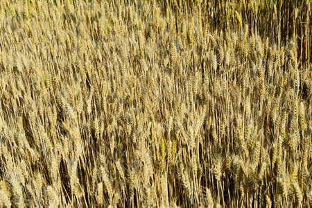 Ripe wheat  스톡 콘텐츠