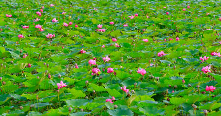The lotus full bloom in the pond