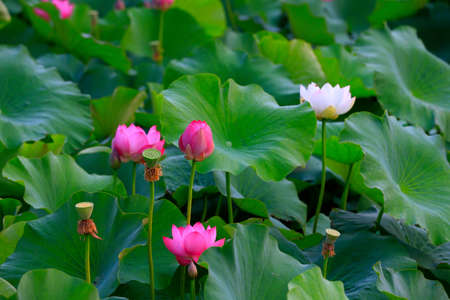 The lotus is in full bloom, in the pond