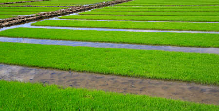 Cultivated rice in the fields Stock Photo