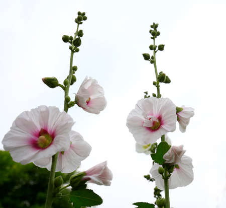 hollyhock flowers in the garden  Stockfoto