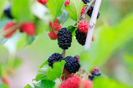 ripe mulberry  on the mulberry tree Stock Photo