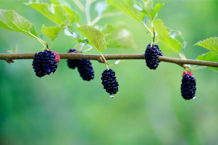 ripe mulberry on the mulberry tree