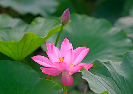 Blooming lotus in the pond