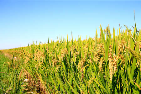 Ripe rice, in the paddy fields