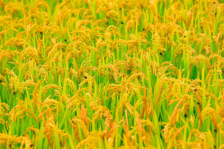 Golden rice, in the fields