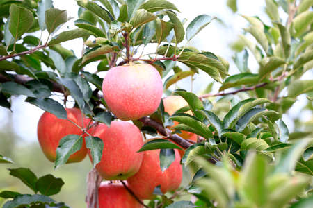 Many ripe apples on the fruit trees Stock fotó