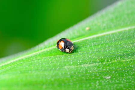 ladybug on green leaves, North China