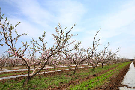 Peach trees bloom in the fields in spring