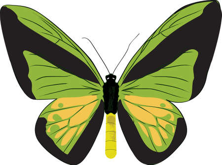The drawn butterfly ornithoptera goliath