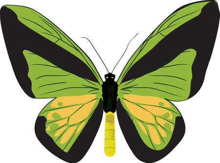 The drawn butterfly - ornithoptera goliath