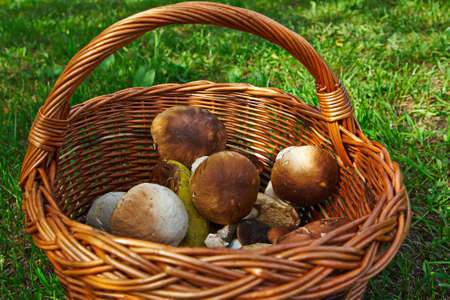 Mushrooms in a basket on the green grass