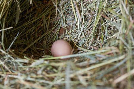 Macro shoot of eggs at hay nest in chicken farm Stock Photo