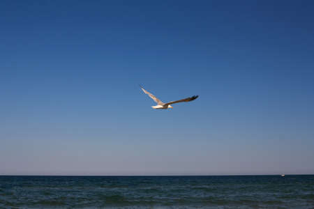 Flying seagull over the Black Sea
