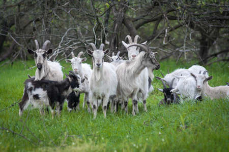 skewbald: Image of domestic goat on a background of grass and trees