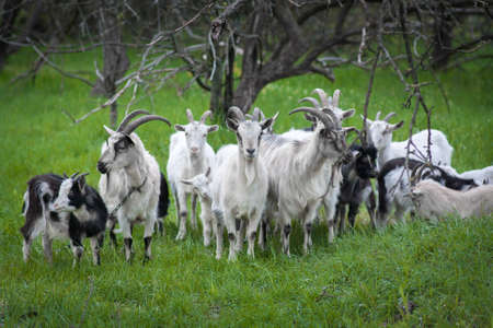 skewbald: Image of domestic goat close up on a background of grass and trees