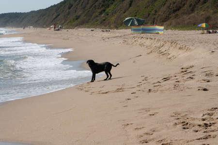 Black St. Bernard dog on the Black Sea beach in Bulgaria Banque d'images - 110736814