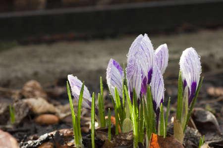 crocus violet photo