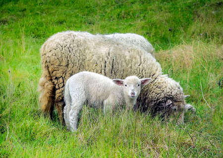 Mother sheep and her lamb
