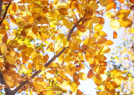 beech: Golden Autumn Foliage beech