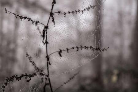 araneae: Morning dew on spider web