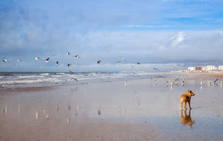 Dog on hunting Seagulls on the beach Punta Umbria Spain