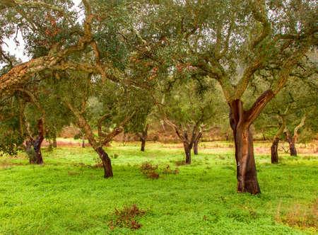 Cork Trees natural resources Landscape in Portugal Alentejo Stock Photo
