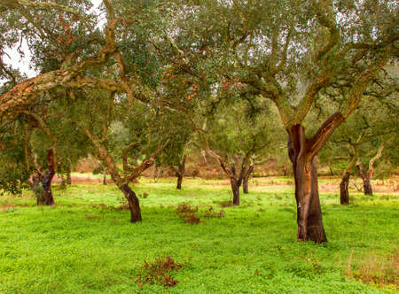 Cork Trees natural resources Landscape in Portugal Alentejo Standard-Bild