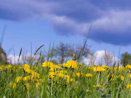 sky bachground: meadow dandelion blooming field blue sky bachground Stock Photo