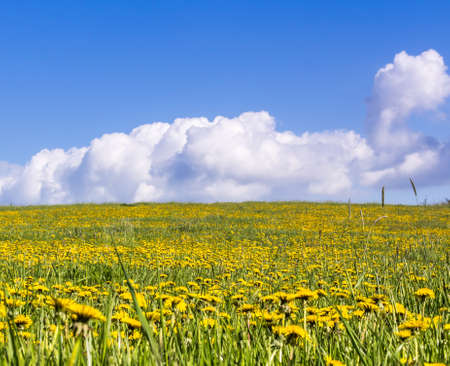 meadow dandelion blooming field blue sky bachground Stock Photo