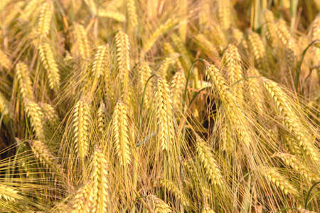 ripe ears of barley closeup cornfield Background Stock Photo