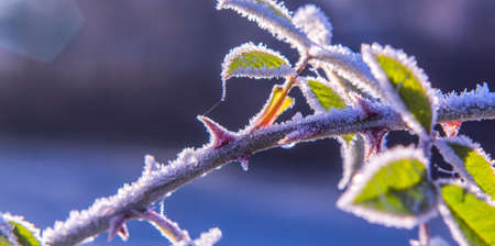 Brilliant frost crystals on rose hip shrub winter Nature