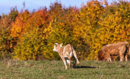 Cows Pasture Farmland on Autumn Nature Animals Farm Stock Photo