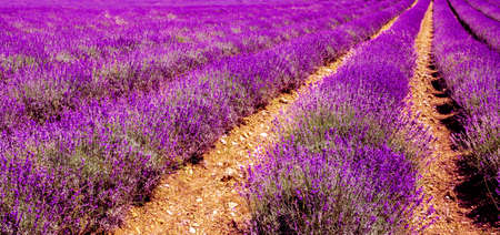 Lavender field violett blooming herbs background Nature Summer Stock Photo