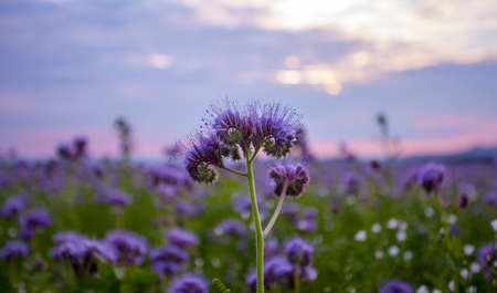 bee on flower: Phacelia flowers blooming field and purple sunset sky background Stock Photo