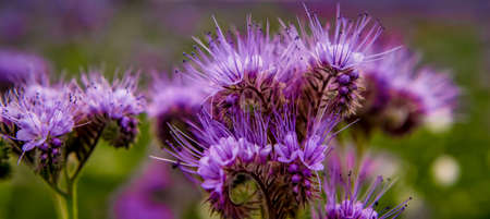Phacelia flowers blooming violett Nature field flowers Close up