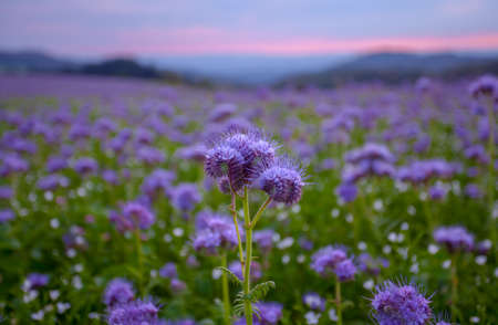 bee on flower: Phacelia flowers blooming field at the dawn sky landscape Stock Photo